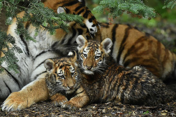 Amur Tiger cubs born in Dublin Zoo, the largest big cat in the world, are seen publicly for the first time in Dublin
