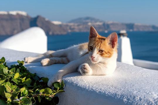 Oia village - Aegean sea - Santorini cat - Greece