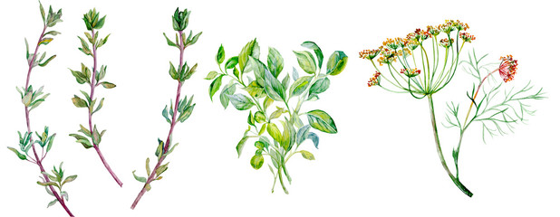 Flavouring herbs. Dill, thyme, spices. Watercolor illustration isolated on white background.