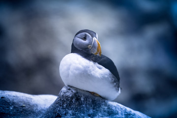 Puffin in the zoo. Tenerife. Canary Islands..Spain