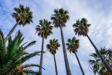 Palm trees at Cannes on the cote d'azur.