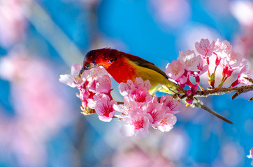 Wall Mural - Red bird blue background perched on the branches Sakura