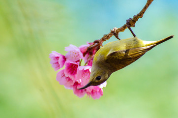 Wall Mural - Green bird blue background perched on the cherry blossoms