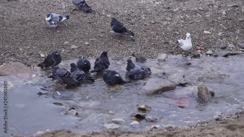 Pigeons swimming in a creek with dirty water