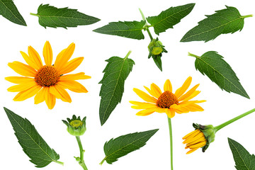 Yellow daisy flower with leaf set isolated on white
