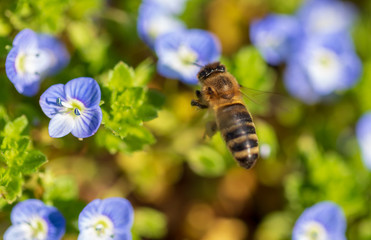 Bee on small blue flowers on the grass