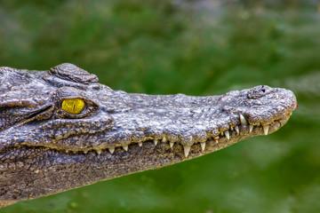 Acrylic Prints Crocodile Ein Porträt von einem Krokodil in freier Wildbahn