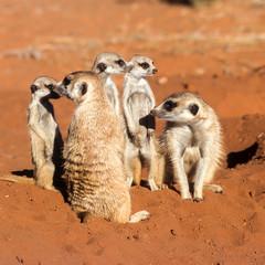 Suricate or Meerkat (Suricata suricatta), Africa, Namibia, Hardap, Kalahari