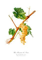 White grape vintage watercolour art poster.