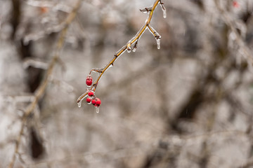 Red rosehip berries and tree branches covered with ice after freezing rain