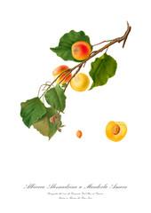 Apricot vintage botanic watercolour art poster