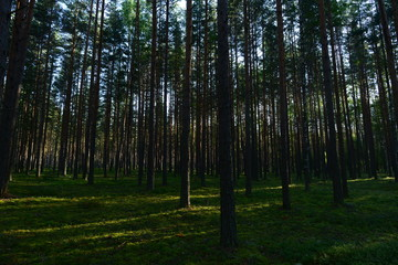 Pine forest in the light of the morning sun on the green  cover plants of blueberries and moss