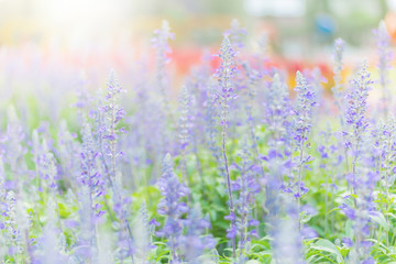 Selective focus on lavender flower in flower garden, Blooming lavender in a field at Provence