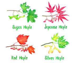Sugar, Japanese, red and silver maple branch with leaves and seeds, maples variety collection, hand painted watercolor illustration  with inscription isolated on white