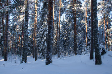 pine forest in the snowy cold winter.