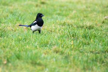 Close up of a Magpie (Pica pica)