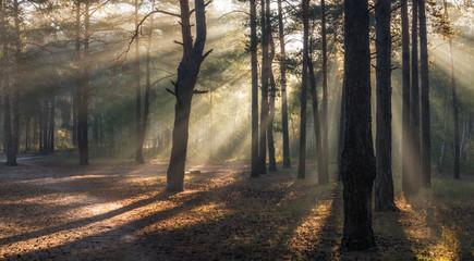 Morning. Forest. Sunlight. Sun rays. Sunrise.