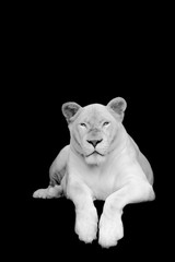 Black and white picture white tiger on black background