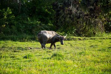 Water Buffalo in a green field in Thailand