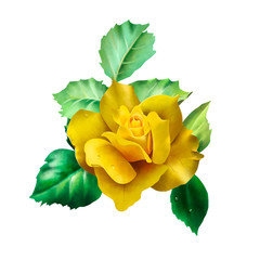Beautiful yellow rose framed by young green leaves with dew drops, isolated on white background close-up