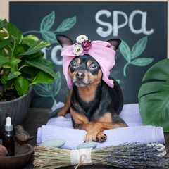 Massage and spa, a dog in a turban of a towel among the spa care items and plants. Funny concept grooming, washing and caring for animals