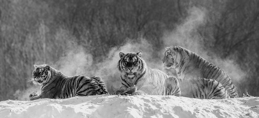 Several siberian (Amur) tigers on a snowy hill against the background of winter trees. Black and white. China. Harbin. Mudanjiang province. Hengdaohezi park. Siberian Tiger Park. Winter. Hard frost. (