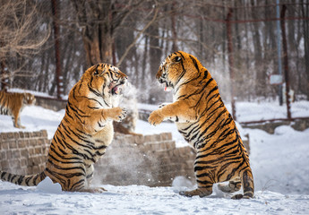 Two Siberian (Amur) tigers are fighting each other in a snowy glade. China. Harbin. Mudanjiang province. Hengdaohezi park. Siberian Tiger Park. Winter. Hard frost. (Panthera tgris altaica)
