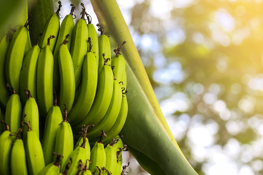Cavendish Banana Tree.