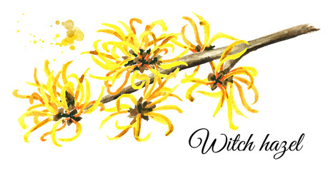 Blossoming branch of a witch hazel, medicinal plant Hamamelis. Watercolor hand drawn illustration, isolated on white background