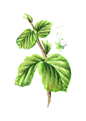 Branch of a witch hazel with leaves. Medicinal plant Hamamelis. Watercolor hand drawn illustration  isolated on white background
