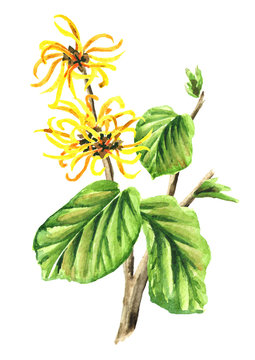 Branch of a witch hazel with leaves and flowers  medicinal plant Hamamelis. Watercolor hand drawn illustration, isolated on white background