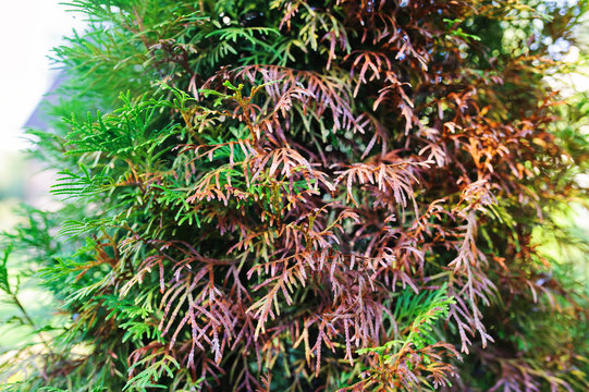 thuja damaged by spring sun or animals close up in garden. Conifer health care concept.