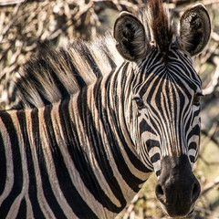 Portrait of a zebra in south africa