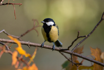 great tit on branch autumn