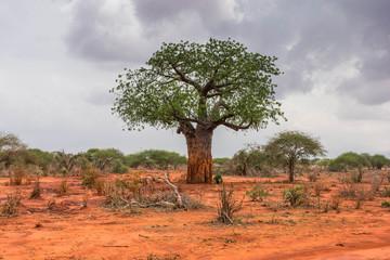 Aluminium Prints Baobab Lone baobab in Ngutuni Park. Kenya safari