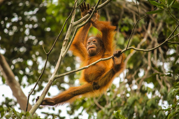 Baby Orangutan swinging from a tree in Borneo jungle