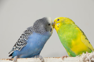 Kiss wavy parrots. Little birds touched each other's beaks