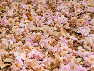 Pink flowers on the floor or Tabebuia rosea on a green lawn in the concept of love, romance, happiness and refreshment for Valentines Festival