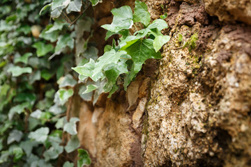Ivy leaves crawling on the old stone wall