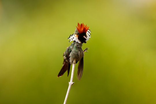 Frilled Coquette scratching himself in the Itatiaia National Park