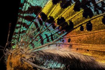 papillon Chrisiridia Rhipheus en macro