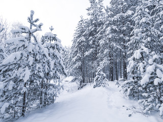 Winter landscape with snow in pine forest