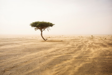 Single tree in the middle of desert Sahara with sands storm Wall mural