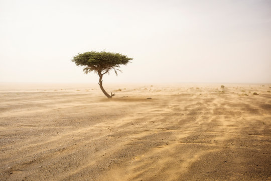 Single tree in the middle of desert Sahara with sands storm