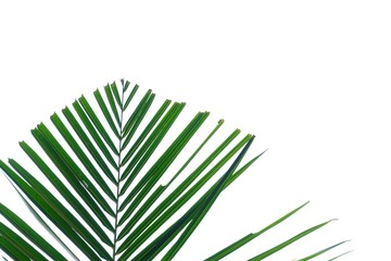 Green damaged coconut leaves on white isolated background for backdrop pattern