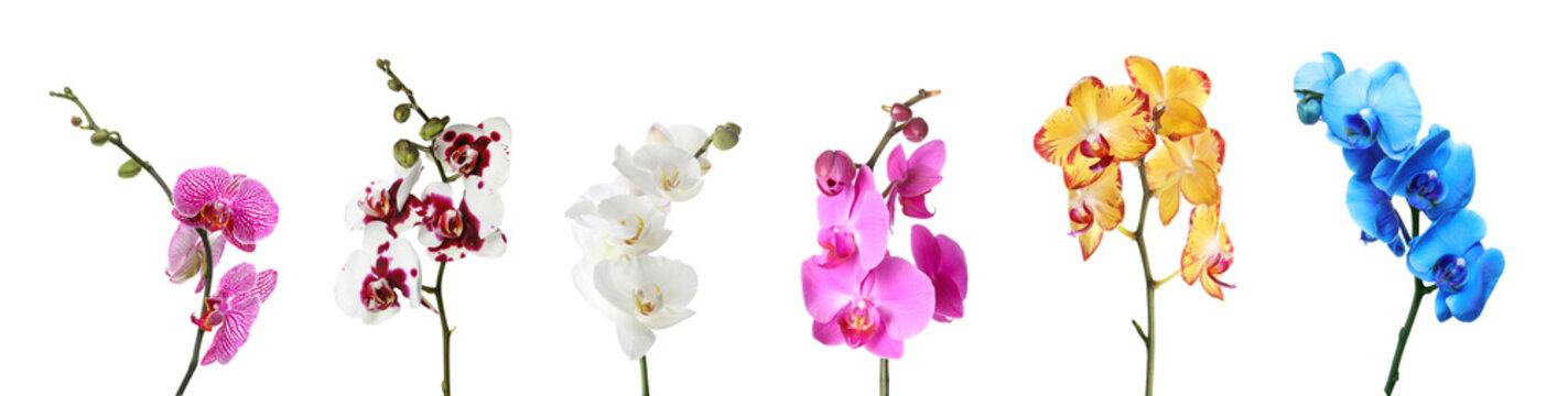 Set of beautiful colorful orchid phalaenopsis flowers on white background