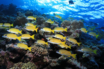 Fototapete - Shoal of fish in the Great Barrier Reef