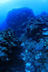 Fototapete - Beautiful coral scenery underwater in the Bougainville reef