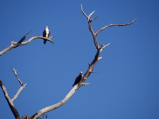 Osprey Pair  in an Old Tree