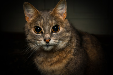 Portrait of the grey cat with big black eyes